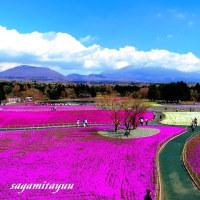 富士山と芝桜のパノラマ「2017 富士芝桜まつり」!!
