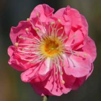 鉢植の花梅(3)~八重寒紅