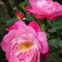 埼玉県毛呂山町 秋のバラ 2016年10月