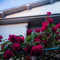 【May_18】薔薇ふたたび