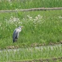 西印旛沼探鳥会2017.5.21_日