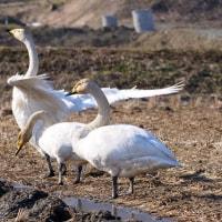 白鳥の所作