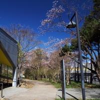 桜 2017〈5〉