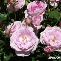 5/27花日記(響灘グリーンパークのバラフェア-6(作出国:英国、米国等のバラたち他))