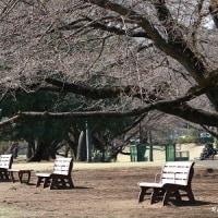 3月24日の市内の桜開状況で~す