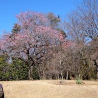 妻と、森林公園で梅を楽しんだ