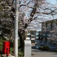 校門の桜の木