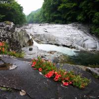 雨に濡れる 木曽川サツキ