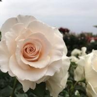 2017 春薔薇 2