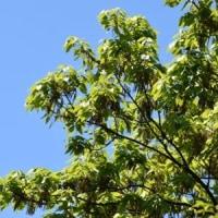 コナラの枝が緑になって