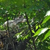 猛禽ツミ♀の子育て・可愛い4羽の雛の姿を・・・