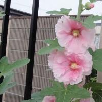 タチアオイ(黄色 ピンク) 梅雨のアジサイ 小野町の東堂山羅漢像