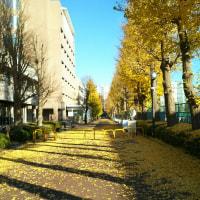 麻布大学銀杏並木