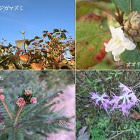 大丁子莢迷とドイツ唐檜の花と