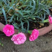 昨年の娘からのカーネーション今年も咲きました。