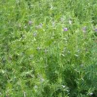 カラスノエンドウ:雑草