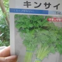ミニカリフラワーでき始める、スープセロリ播種