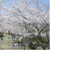 日本列島、春本番、高知でさくらが咲いたよ。