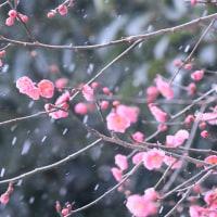 ●尾山神社 雪景色の中、紅梅が開花 左義長
