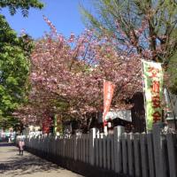 頓宮の八重桜