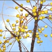 12月の空で 豆撒きしているセンダンの木