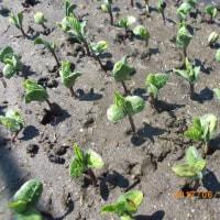 黒大豆の苗は99パーセントの発芽です。
