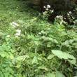 吾妻小舎のシャクナゲが開花しました