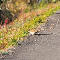 シロハラが道端に落ちたセンダンの実をくわえました。 (Photo No.13994)