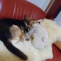 うちの 老犬 …