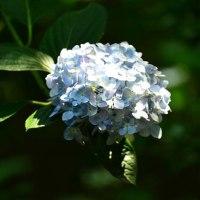 久米寺の紫陽花 6月15日