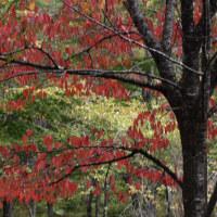 10月21日 桜の葉紅葉