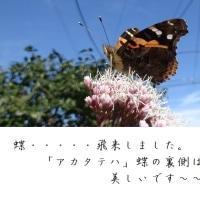 蝶・・・・・我が家に飛来しました。