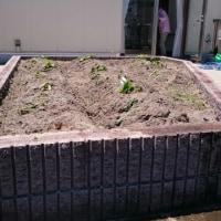 『安納芋』のつるを植えてきました