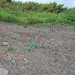 秋田駒ヶ岳経由で大焼砂のコマクサの群生地を見に行く