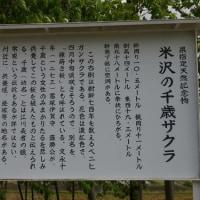 福島県会津三里町、米沢の千歳ザクラです!!