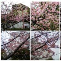 2010-02-27マリンピア河津桜