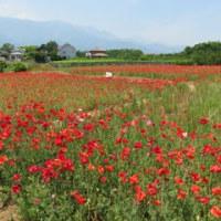 真っ赤なポピーの花畑(山梨県甲斐市)