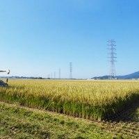 飼料用米の北陸193号を収穫しています。