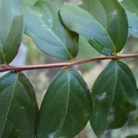サルスベリの葉のつき方は、右・左・左・右です。