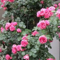 玄関脇の「バラ」