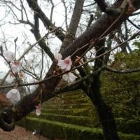 桜山公園の冬桜(群馬・藤岡市)