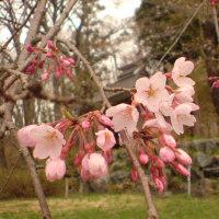 開花、岩岳垂れ桜、