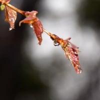 ヤマザクラの幼い葉に雨のしずく