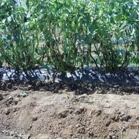 ソラマメ収穫 オクラ追加播種