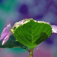 紫陽花シリーズ(Ⅰ)