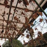 10月26日・プランター栽培のキュウリ収穫!