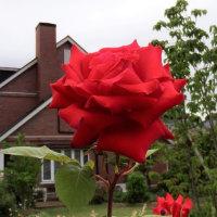 近所の庭園で咲く赤いバラ