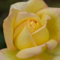 Roses like sunshine