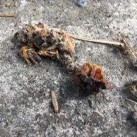 ニホンミツバチの敵;オオスズメバチとスムシ