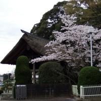 大聖寺山門と桜